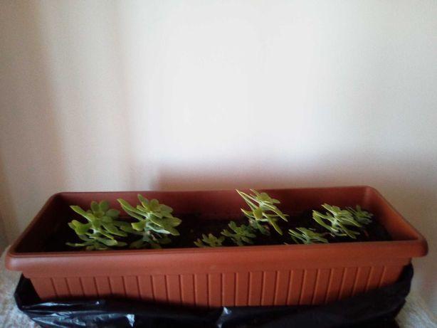 Planta cato suculenta