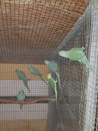 Aleksandretta obrozna papugi