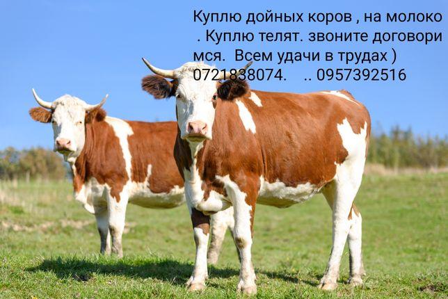 Коровы  , телята.
