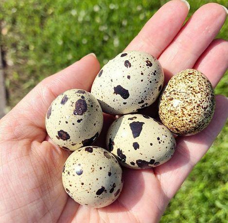 Інкубаційні Перепелині яйця
