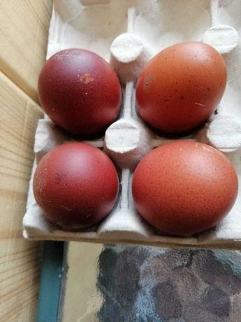 Sprzedam jaja lęgowe maransów