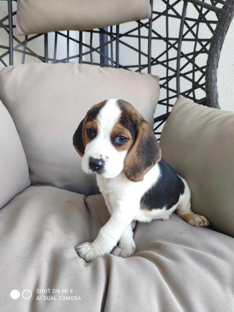 Ternura de Beagle bicolor