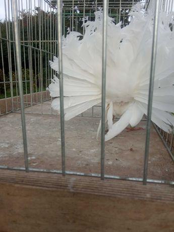 Białe pawiki gołębie