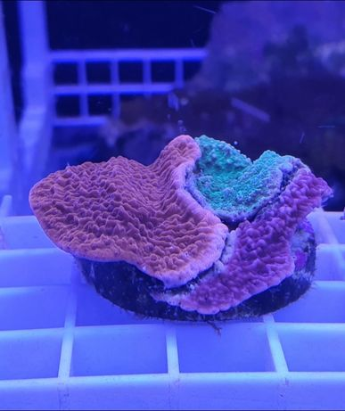 Frags  de  Coral