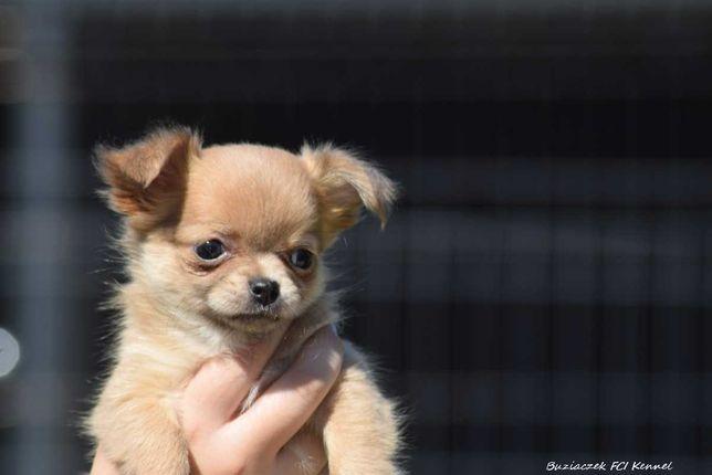 Chihuahua długowłosa suczka z rodowodem ZKwP