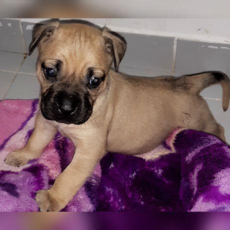 Cao para adoção pitbull