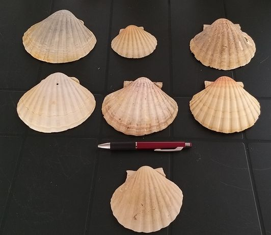 Conchas de Mar para Decoração.