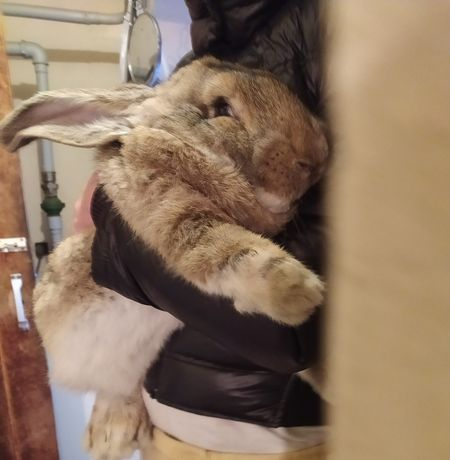 Кролики. Фландер