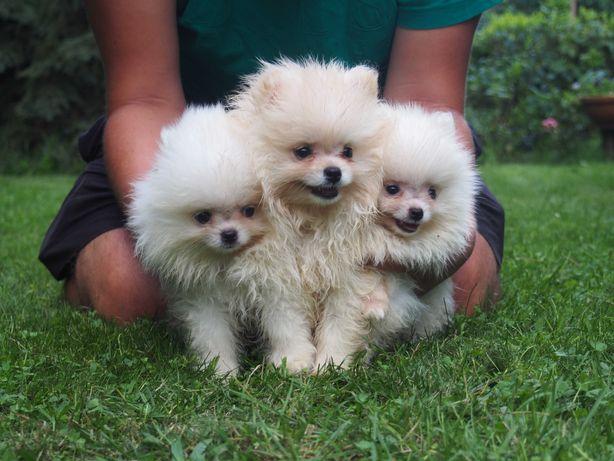 Pomeranian biały,kremowy