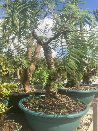 Pré bonsai Schinnus molle