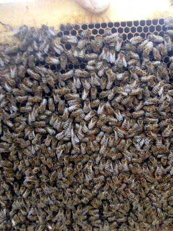 Пчелосемья,пчеловодство , пчёлы , мёд