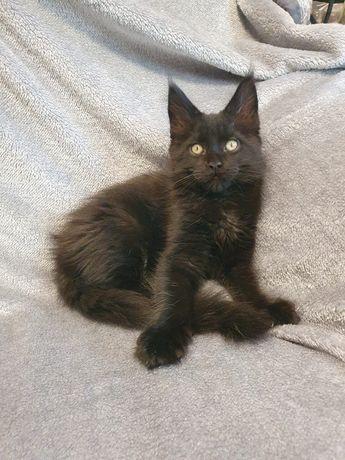 Котенок мейн-кун шоу класса в разведение– кот, прекрасный во всём