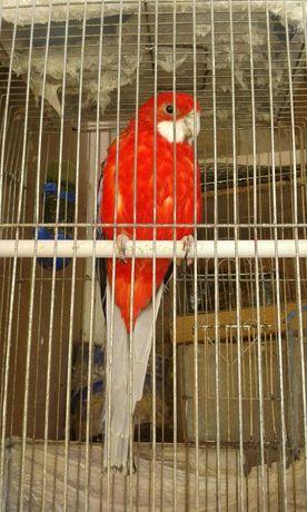 Продам попугая Розеллу