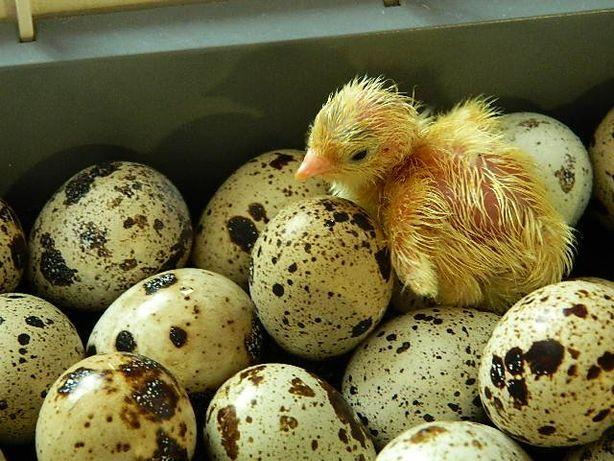 Яйцо инкубационное перепелиное.
