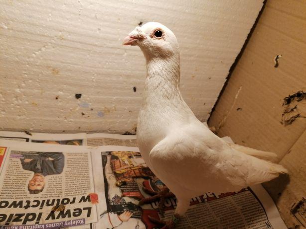 Gołąb pocztowy biały