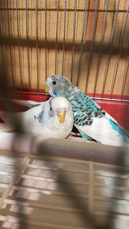 Пара папужок з кліткою новою разом,та кормом