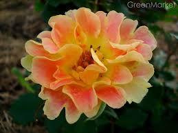 Саженцы роз, шраб-хамелеон Пур Каприз (Pur Caprice)