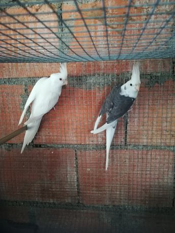 Caturra albina femea