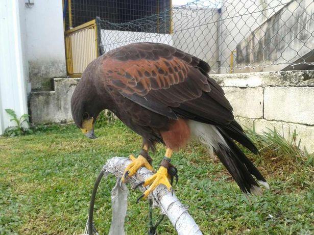 Aves de falcoaria para venda