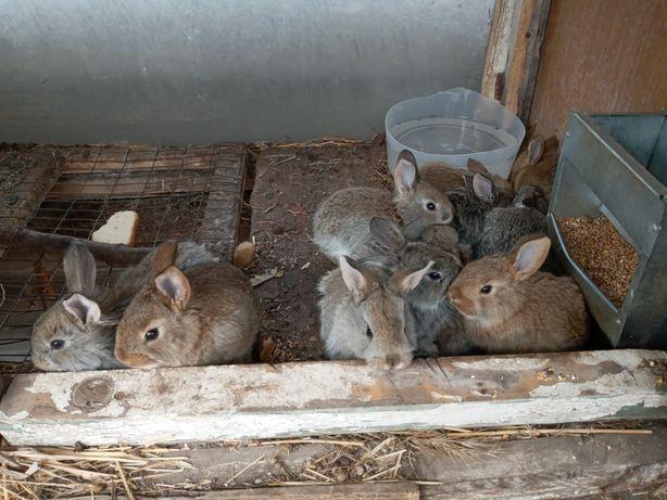 Кролики продам сов.шиншила.