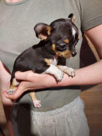 Chihuahua suczka