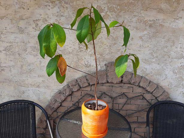 Дерево Кетапанг, Индийский миндаль