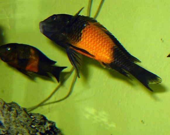 Tropheus i Cyprichromis F1 bezpieczna wysyłka certyfikat(aktualne)