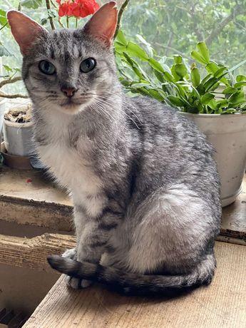 Отдам кошку шиншилового окраса, 1,5 года