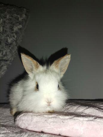 Królik miniaturka króliki miniaturki lewki