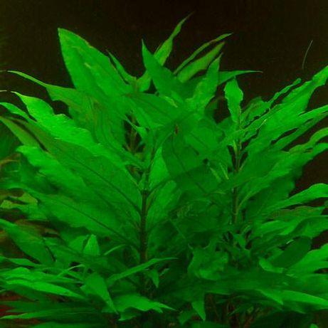 Hygrophila Siemens - Rośliny Akwariowe