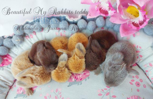 Mini lop wolne króliki