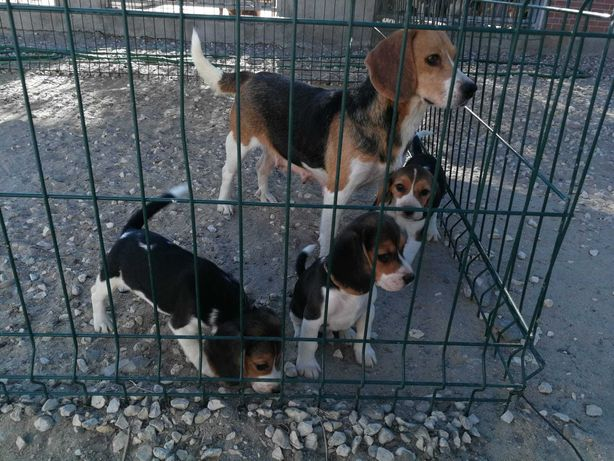 Beagle tricolor pequeno