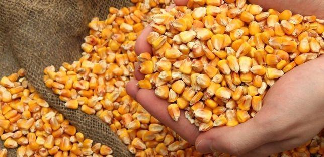 Продам кукурудзу , ячмень , пшеница