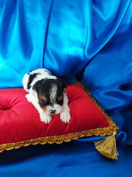 Mini-piesek Biewer yorkshire Terrier ,-Champion-Polski-rodw-IHR