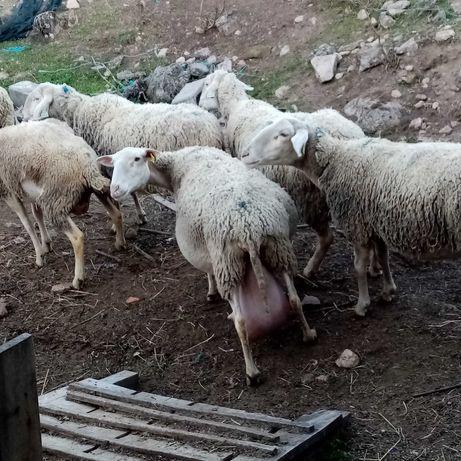 Vendo ovelhas de refugo lacaune