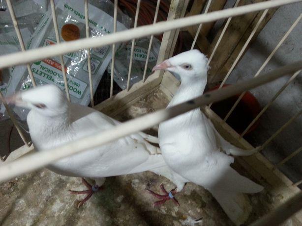 perłowe srebrniaki składowe gołębie