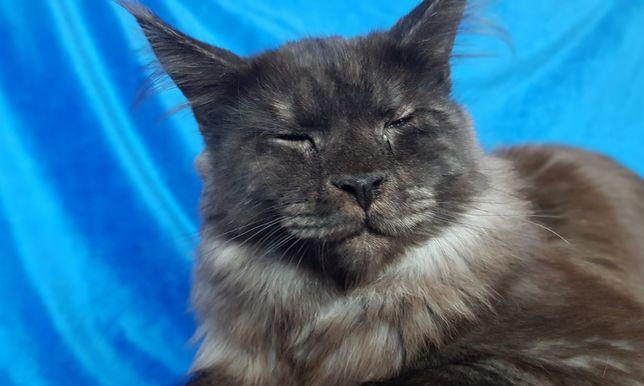 Kotka Kocięta Maine Conn z rodowodem fpl