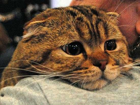 Вязка вислоухий кот