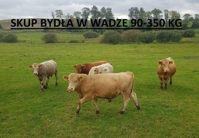 skup bydła Limousin Angus Hereford Simentaler byki jałówka