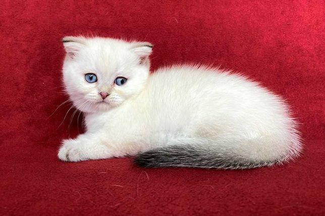 Шотландcкие котята окpаcа cеребриcтая шиншилла и шиншилла-поинт