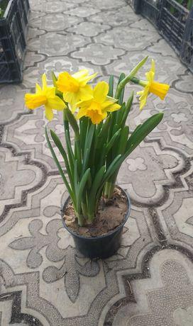 НАРЦИСС в горшке ОПТ тет-а-тет  цветы на 8 марта примула тюльпан