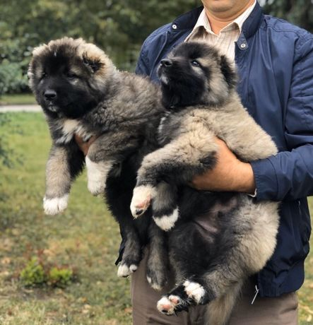 Цуценята кавказської вівчарки. Кавказська вівчарка