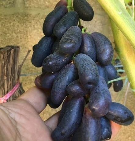 Отличная корневая. Саженцы винограда