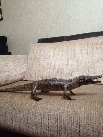 Продам чучело Нильского крокодила 75 см из египетской фермы