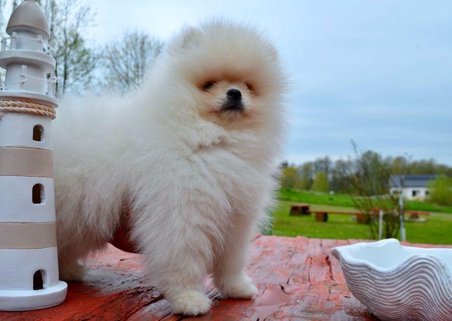 Pomeranian Szpic mianiatutowy Bear Kremowy puchaty miś FCI