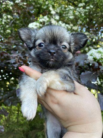 Chihuahua suczka dlugowlosa FCI