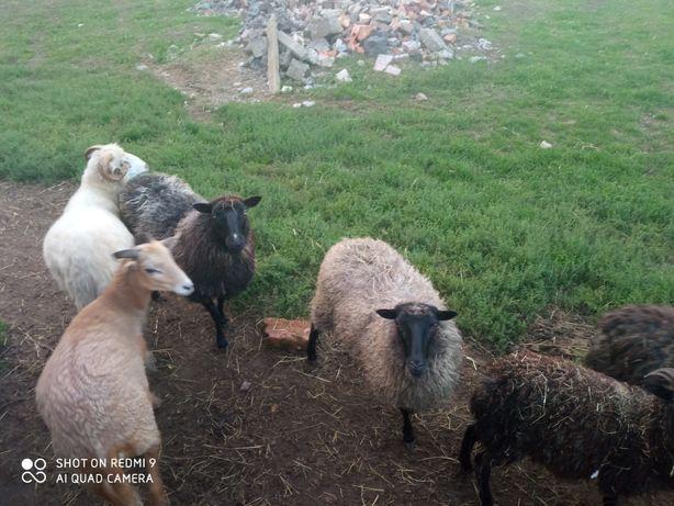 Sprzedam owce wrzosówki i inne