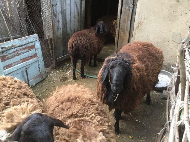 Гиссарские овцы