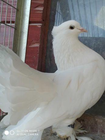 Gołębie ozdobne MŁODE
