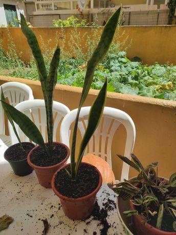 Plantas Espadas de São Jorge e Planta Monstera Deliciosa